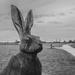 Hare under grey skies