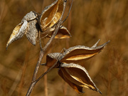 13th Mar 2021 - milkweed pods