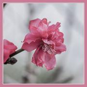 14th Mar 2021 - Pink 2 - Sunday