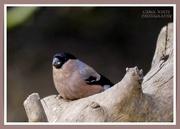 15th Mar 2021 - Bullfinch (female)