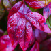 Red Leaves by kvphoto