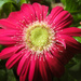Red Gerbera by mittens
