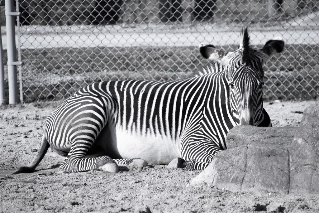 Zebra by randy23