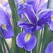 Iris by snowy