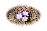 15th Mar 2021 - A trio of purple.......