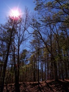 16th Mar 2021 - Pines, red oaks and sunshine...