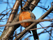 15th Mar 2021 - world wide minute robin