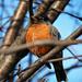 world wide minute robin by summerfield