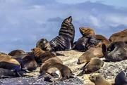 16th Mar 2021 - Cape Fur Seals