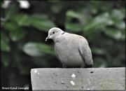 16th Mar 2021 - Collared dove