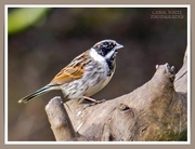 16th Mar 2021 - Reed Bunting (mid moult)