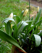 16th Mar 2021 - Wet Tulips