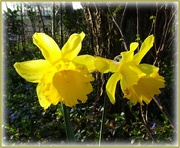 17th Mar 2021 - daffodils