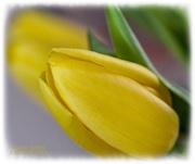 17th Mar 2021 - Tulip