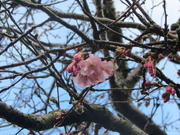 16th Mar 2021 - The first sight of pink blossom.
