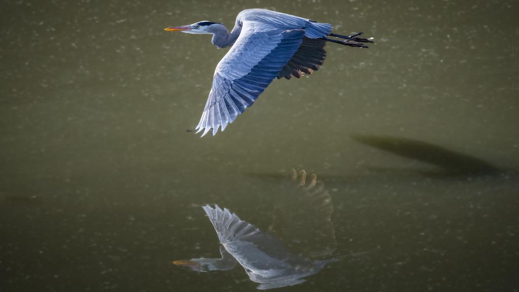 Great Blue Heron 1 by mikegifford