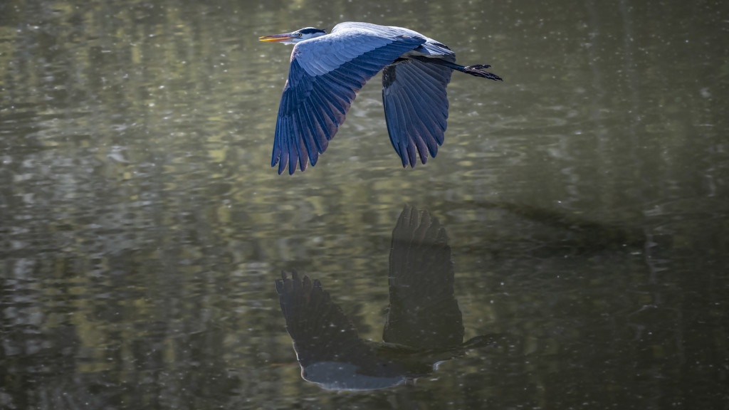 Great Blue Heron 2 by mikegifford