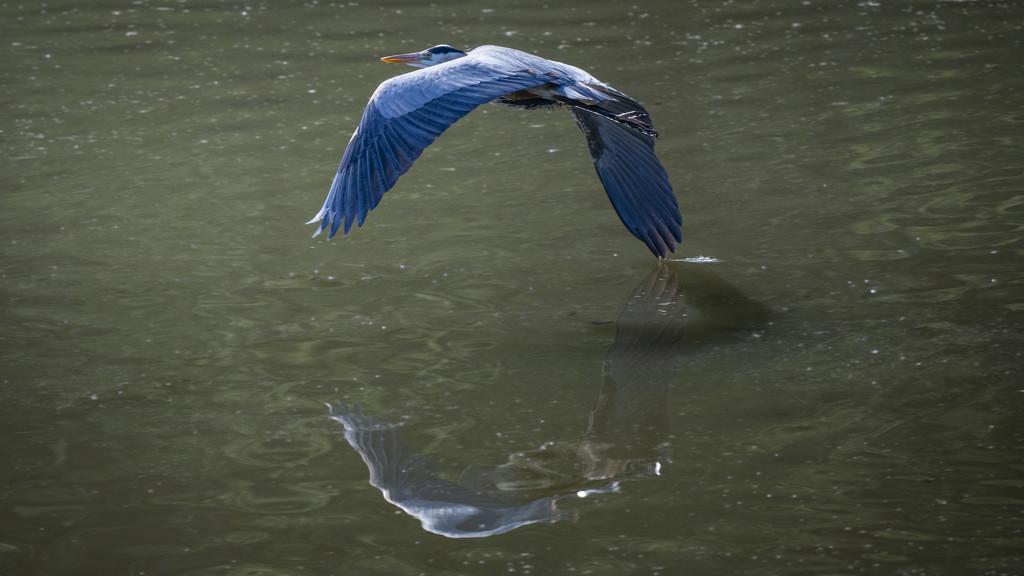 Great Blue Heron 3 by mikegifford