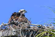 17th Mar 2021 - Osprey and baby