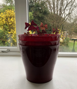 17th Mar 2021 - Oxalis for St Patricks Day