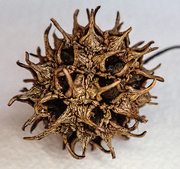 16th Mar 2021 - Sycamore Seed