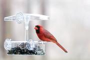 17th Mar 2021 - Cardinal
