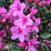 Azaleas are beginning their annual spectacular color show. by congaree