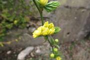 17th Mar 2021 - yellow shrub