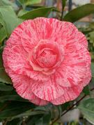 16th Mar 2021 - Camellia