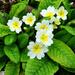 Primrose Flowers by tonygig