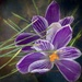 Purple crocus by samae