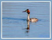 18th Mar 2021 - Great-crested Grebe