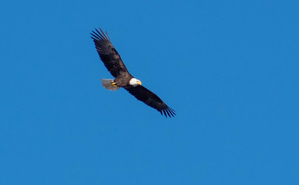Bald Eagle by tdaug80