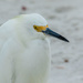 Close Up of the Egret