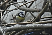18th Mar 2021 - Another blue tit