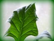18th Mar 2021 - Green leaf