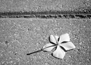 18th Mar 2021 - Fallen Flower