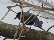 18th Mar 2021 - common grackle