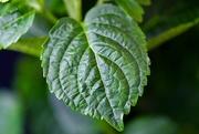 18th Mar 2021 - Hydrangea Leaf