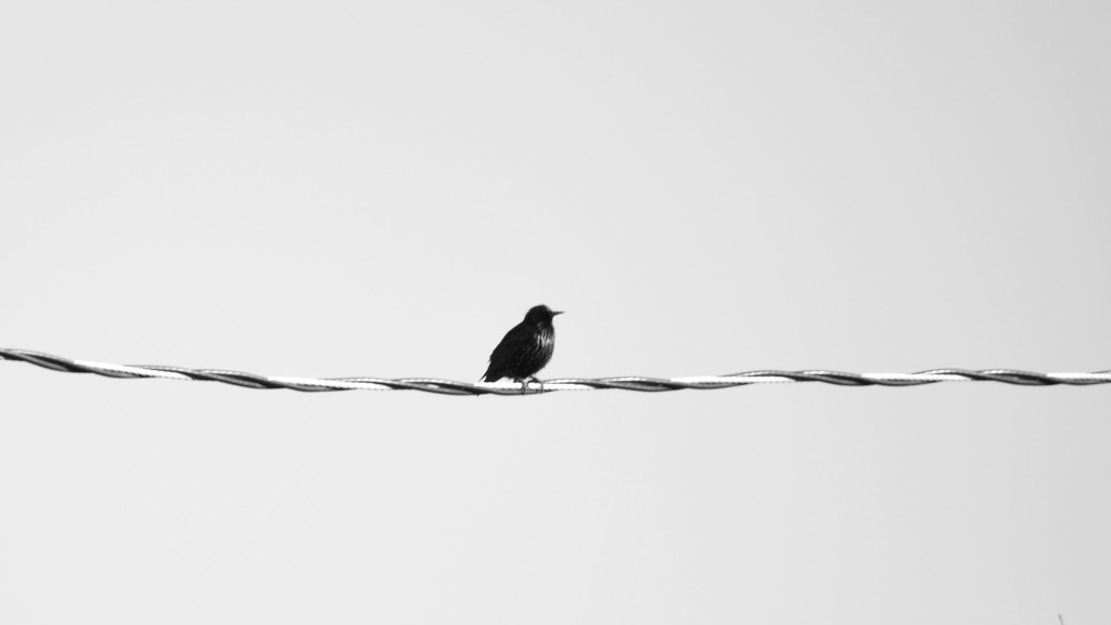 Bird On A Wire by bjywamer