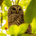 Barred Owl With It's Eye's Open! by rickster549