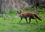 19th Mar 2021 - Red Fox