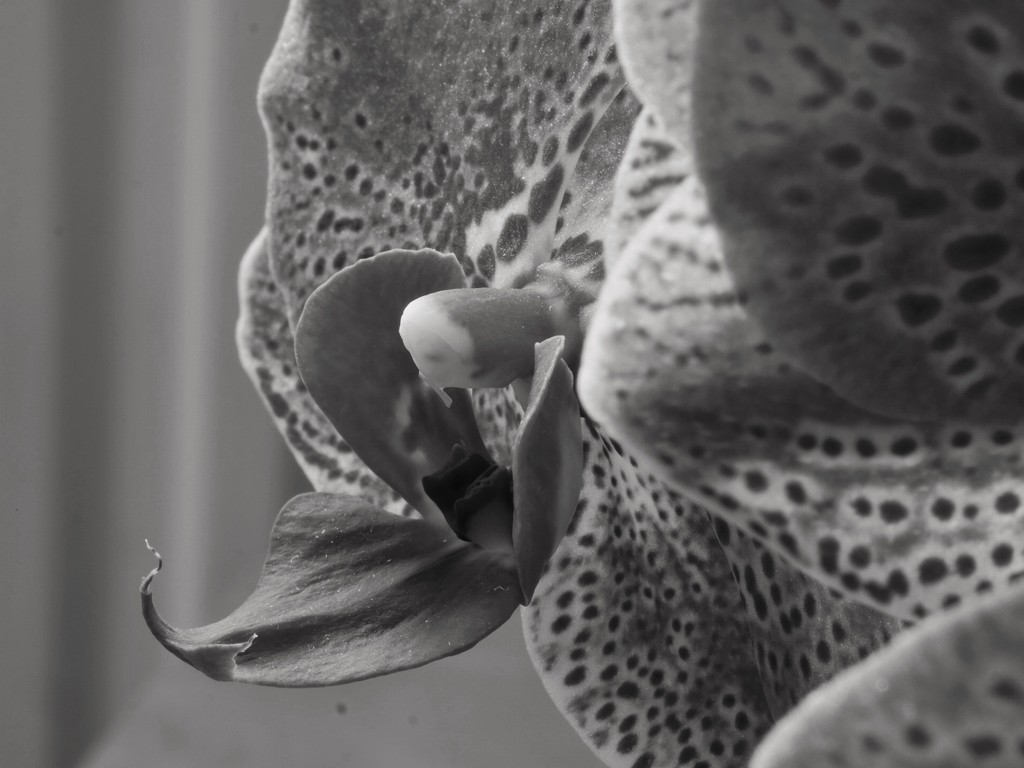 Moth Orchid by jangray
