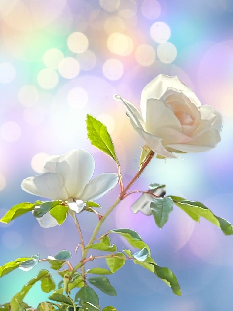 Bokeh white roses by kathyboyles