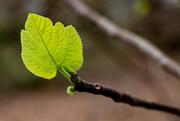 18th Mar 2021 - Early fig leaf...