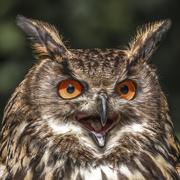 19th Mar 2021 - Eurasian Eagle Owl