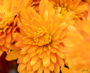 19th Mar 2021 - Orange chrysanthemum