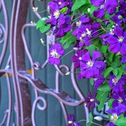 20th Mar 2021 - Purple clematis