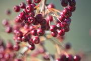 17th Mar 2021 - Berries
