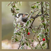 20th Mar 2021 - long-tailed tit